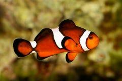 Ocellaris Amphiprion θαλασσίων ψαριών ενυδρείων Anemonefish Clownfish Στοκ Εικόνες