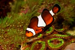 Ocellaris Amphiprion θαλασσίων ψαριών ενυδρείων Anemonefish Clownfish Στοκ φωτογραφίες με δικαίωμα ελεύθερης χρήσης