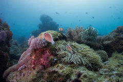 Ocellaris Amphiprion κλόουν anemonefish Στοκ φωτογραφία με δικαίωμα ελεύθερης χρήσης