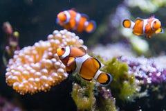 Ocellaris Amphiprion ψαριών κλόουν που κολυμπούν γύρω από το anemone Στοκ Φωτογραφία