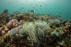Ocellaris Amphiprion anemonefish клоуна стоковое фото