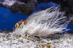 Ocellaris Amphiprion Clownfish που κρύβουν στο crispa Heteractis anemone Sebae Στοκ Εικόνα