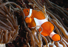 Ocellaris Amphiprion clownfish στο θαλάσσιο ενυδρείο Στοκ Φωτογραφία