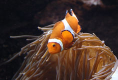 Ocellaris Amphiprion clownfish στο θαλάσσιο ενυδρείο Στοκ εικόνες με δικαίωμα ελεύθερης χρήσης