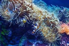 Ocellaris Amphiprion Ocellaris Clownfish Стоковое Изображение RF