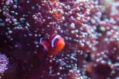 Ocellaris Amphiprion Ocellaris Clownfish Стоковые Изображения