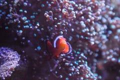 Ocellaris Amphiprion Ocellaris Clownfish Стоковая Фотография