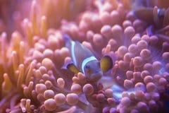 Ocellaris Amphiprion Ocellaris Clownfish Стоковые Изображения RF