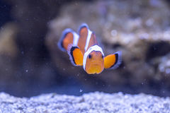 Ocellaris Amphiprion Ocellaris Clownfish Стоковое Изображение