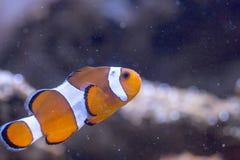 Ocellaris Amphiprion Ocellaris Clownfish Стоковая Фотография RF