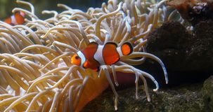 Ocellaris Clowfish die, amphiprionocellaris, zich dichtbij Anemoon bevinden, stock videobeelden