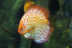 Ocellaris clownfish在海洋 免版税库存照片
