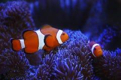 Ocellaris clownfish και anemone Στοκ εικόνες με δικαίωμα ελεύθερης χρήσης