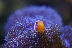 Ocellaris clownfish και anemone Στοκ Εικόνες
