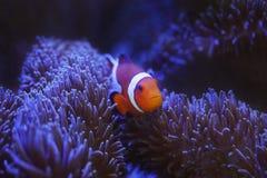 Ocellaris clownfish και anemone Στοκ Φωτογραφία