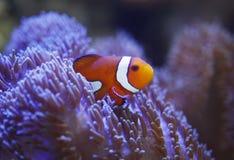 Ocellaris clownfish και anemone Στοκ εικόνα με δικαίωμα ελεύθερης χρήσης
