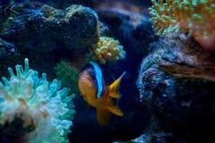 Ocellaris clownfish που κολυμπά κοντά σε ένα anemona Στοκ Φωτογραφίες