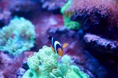 Ocellaris clownfish που κολυμπά κοντά σε ένα anemona Στοκ φωτογραφίες με δικαίωμα ελεύθερης χρήσης