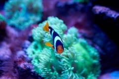 Ocellaris clownfish που κολυμπά κοντά σε ένα anemona Στοκ εικόνα με δικαίωμα ελεύθερης χρήσης