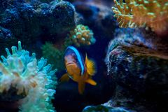 Ocellaris clownfish που κολυμπά κοντά σε ένα anemona Στοκ εικόνες με δικαίωμα ελεύθερης χρήσης