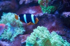 Ocellaris clownfish που κολυμπά κοντά σε ένα anemona Στοκ φωτογραφία με δικαίωμα ελεύθερης χρήσης