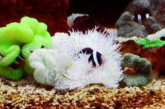 Ocellaris clownfish Stock Image