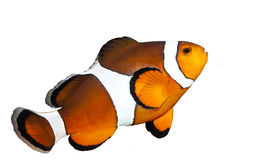 Ocellaris Clownfish Стоковая Фотография