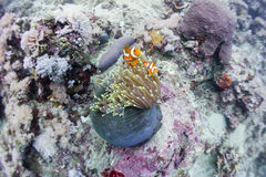 Ocellaris clownfish Stock Image