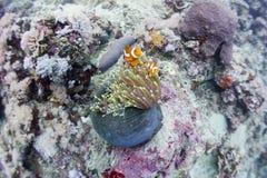 Ocellaris clownfish Stock Afbeelding