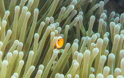 Ocellaris Clownfish stock foto's