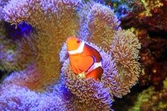 Ocellaris Clownfish Στοκ Εικόνες