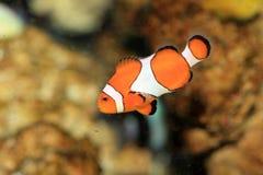 Ocellaris Clownfish Στοκ Φωτογραφία