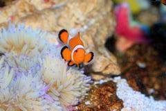 Ocellaris Clownfish Στοκ Φωτογραφίες