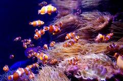 Ocellaris Clownfish Στοκ φωτογραφία με δικαίωμα ελεύθερης χρήσης
