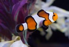 Ocellaris Clownfish in acquario fotografia stock