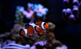 Ocellaris Clownfish - Amphiprion Ocellaris Στοκ Εικόνες
