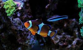 Ocellaris Clownfish - Amphiprion Ocellaris Στοκ φωτογραφία με δικαίωμα ελεύθερης χρήσης