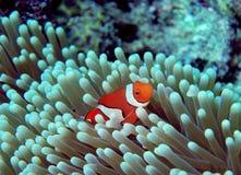 Ocellaris Clownfish - Amphiprion Ocellaris Στοκ εικόνα με δικαίωμα ελεύθερης χρήσης