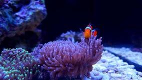 Ocellaris Clownfish - Amphiprion Ocellaris Στοκ Φωτογραφίες