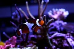 Ocellaris Clownfish - Amphiprion Ocellaris Στοκ εικόνες με δικαίωμα ελεύθερης χρήσης