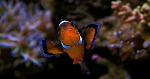 Ocellaris Clownfish - Amphiprion Ocellaris Στοκ Εικόνα