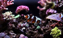 Ocellaris Clownfish - Amphiprion Ocellaris Στοκ φωτογραφίες με δικαίωμα ελεύθερης χρήσης