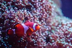 Ocellaris Clownfish Amphiprion Ocellaris Στοκ εικόνα με δικαίωμα ελεύθερης χρήσης