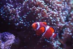 Ocellaris Clownfish Amphiprion Ocellaris Στοκ Φωτογραφίες