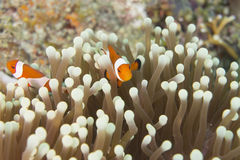 Ocellaris Clownfish Amphiprion Стоковые Изображения RF