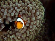 Ocellaris clownfish, ocellaris Amphiprion Bangka, Ινδονησία στοκ εικόνα με δικαίωμα ελεύθερης χρήσης