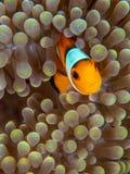 Ocellaris clownfish, Amphiprion ocellaris. Bangka, Indonesia. Baby ocellaris clownfish or common clownfish, Amphiprion ocellaris, in Mertens carpet sea anemone royalty free stock image