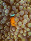 Ocellaris clownfish, Amphiprion ocellaris. Bangka, Indonesia. Baby ocellaris clownfish or common clownfish, Amphiprion ocellaris, in Mertens carpet sea anemone royalty free stock images