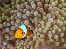 Ocellaris clownfish, Amphiprion ocellaris. Bangka, Indonesia. Baby ocellaris clownfish or common clownfish, Amphiprion ocellaris, in Mertens carpet sea anemone stock photos