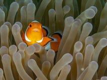 Ocellaris clownfish, Amphiprion ocellaris. Bangka, Indonesia. Ocellaris clownfish or common clownfish, Amphiprion ocellaris, with parasitic isopod Cymothoa stock photo